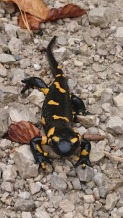 Look for Slovenian Salamanders which come out after the rain